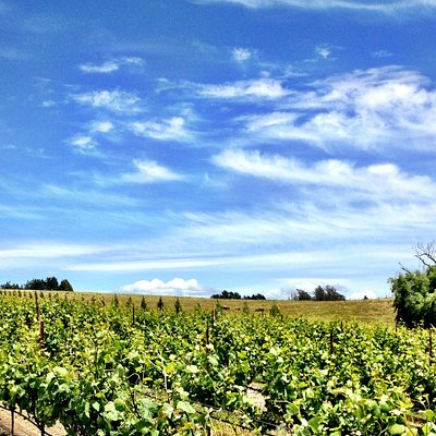 Blue skies in our Canfield Vineyard