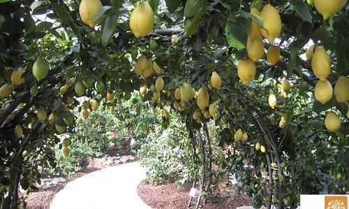 C. Limon Quattro Stagioni