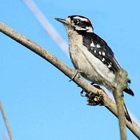 Delta Nature Reserve - Downy woodpecker