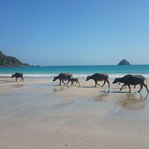 Buffalos at beach in South Lombok