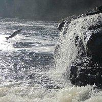 Salmon jumping at Sir Richard Squires Provincial Park