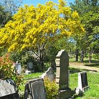 September Wattle at Rookwood