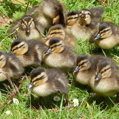 2014 Ducklings
