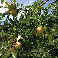 Fresh apples!!