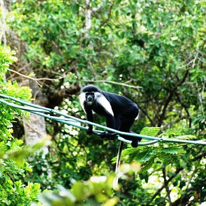 Angolan colobus monkey using a canopy bridge to cross the busy Diani Road