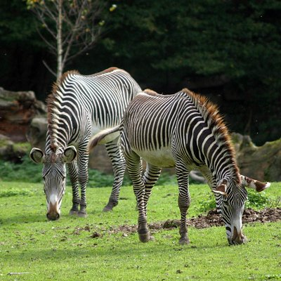 Zebras im Afrika Bereich