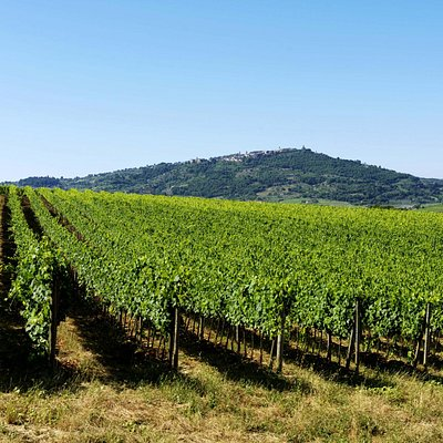 Sangiovese's vineyard