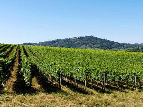Sangiovese's vineyard