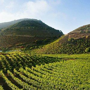 The volcano vineyards