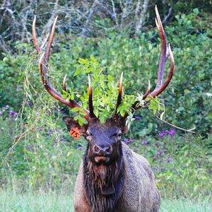 Crown bull
