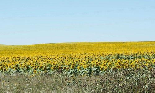 A field of sunflowers near the Odd Duck Inn