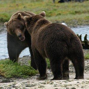 Brown Bears on Katmai Coast