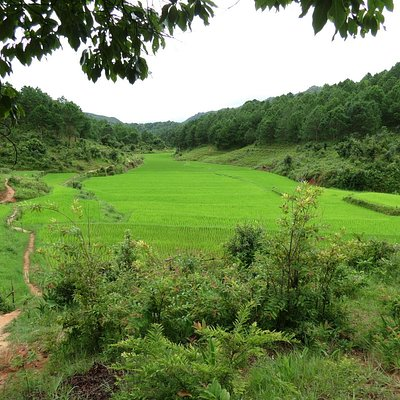 Rice fields,between pine forest