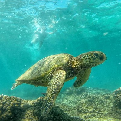 swimming with Honu