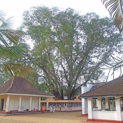 Bo-tree