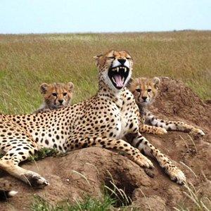 Cheeter in Serengeti national park. Asili Explorer - Tanzania Safari