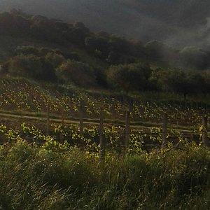 vineyards - vinery - sardinia
