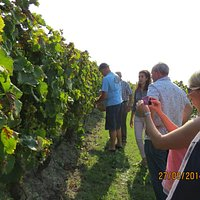Tour of the vineyard, how to pick grapes