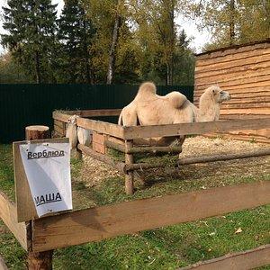 Верблюд Маша