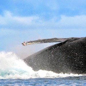 Humpback Whale Sep 2014
