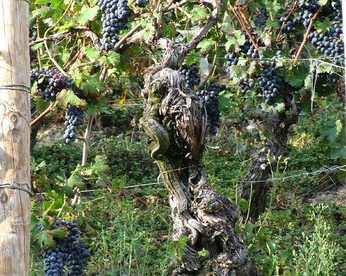 Этому виноградному дереву около 100 лет