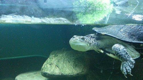 Snakeneck Turtle