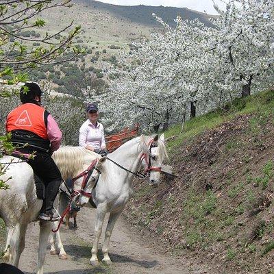 Blossom of cherry trees