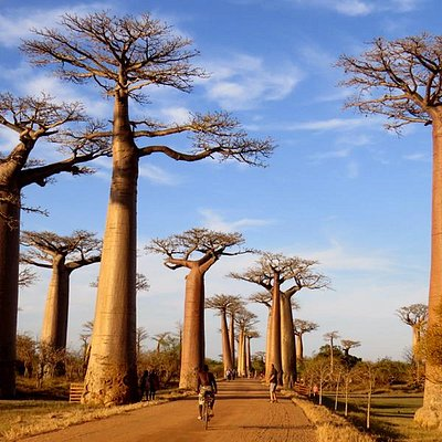 The Baobabs Alley - Morondava - Madagascar