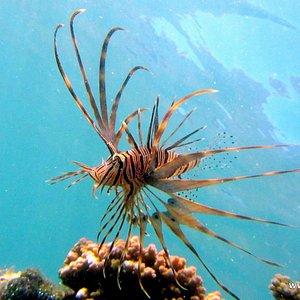Beginners Snorkel Safari: Lion fish