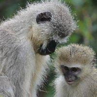 Vervet Monkey Foundation, Rehabilitation, Education, Sanctuary