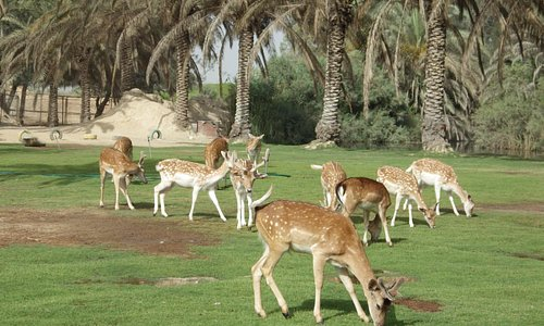 Deers at Africa Safari Park, Cairo-Alexandria Highway, Egypt