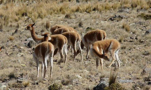 vicuñas protegidas