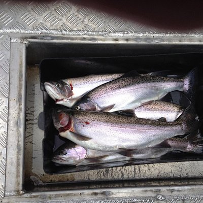Just a few lovely plump trout that clients caught this morning, 2/11/2014