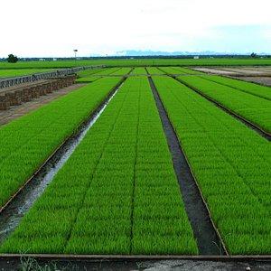 Streamlined Paddy fields