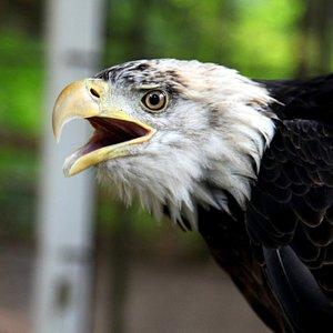 Eddie, NWC's resident Bald Eagle