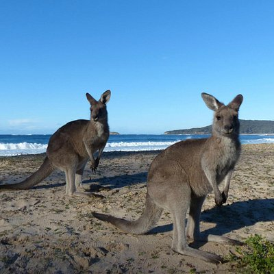 Kangaroos posing for our Camera on one of our Ultimate Adventurer 2 Day Tours
