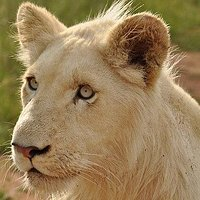 Lion Cubz