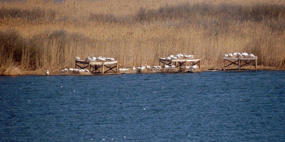 гнезджовья кудрявых пеликанов