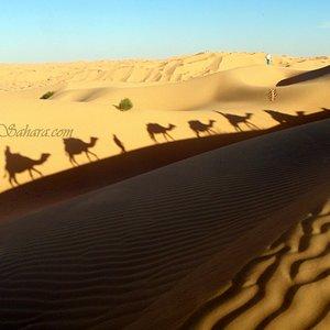 Camel caravan shadows; Sahha Sahara