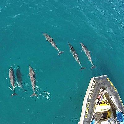Hawaiian Spinner Dolphins on our bow.