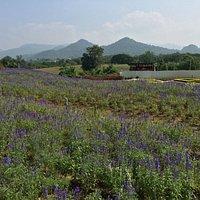 The Bloom Lavendar Fields
