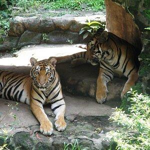 tigersss