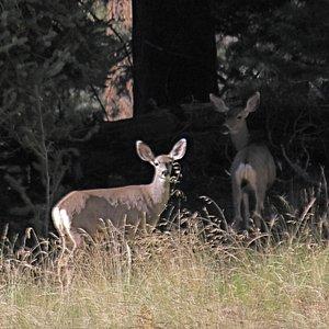 Mule deer along the Kachina Trail.