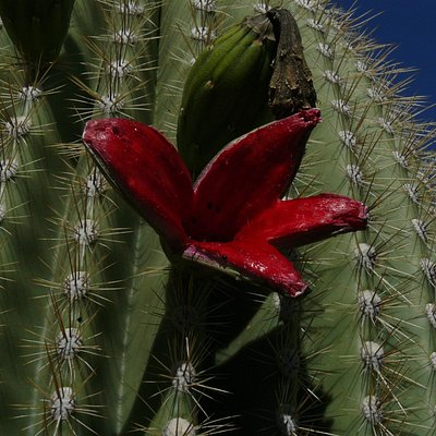 Fruit of the Giant Saguaro