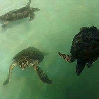 tanque tartaruga cabecuda