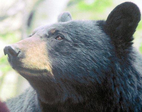 Black Bear Sign, Galena Creek Park, Reno, NV