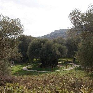 The Olive tree at Samonas
