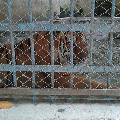 Tiger near the cage