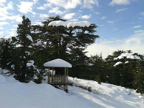 A Cedar Tree for the Lebanese Legend Sabah