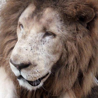 ライオンも、ごっつう近くに見れるんだよ